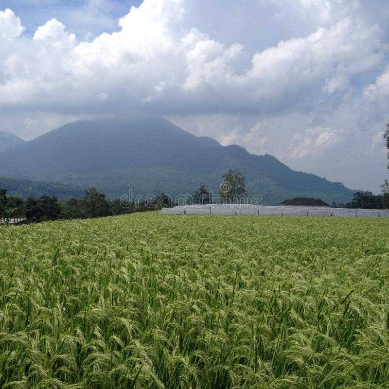 Ricefields on East Java. Rice fields in the mountains of East Java, Indonesia. The volcanoes result in fertile soils. Combined with the tropical heat, the royalty free stock images