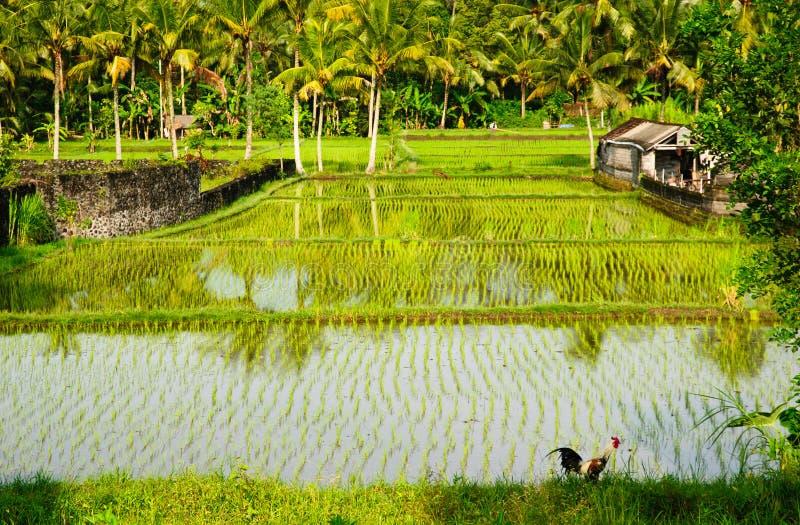 Ricefields en Bali fotografía de archivo