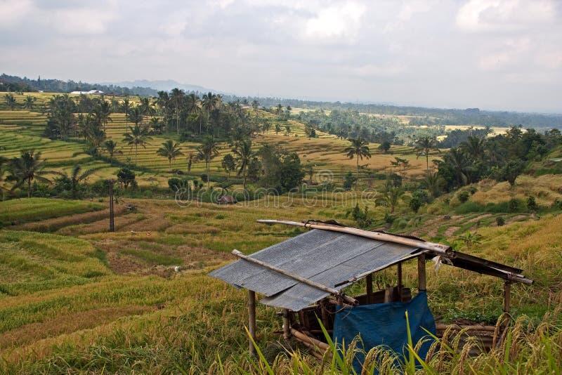 ricefields jatiluwih стоковые изображения