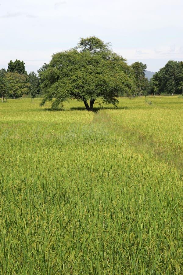 Ricefields Tailândia do wirh da paisagem imagem de stock