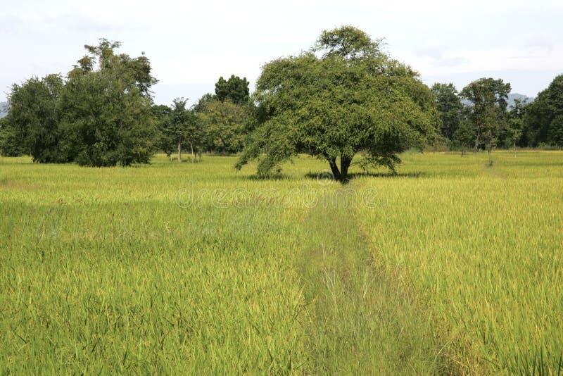 Ricefields Tailândia do wirh da paisagem foto de stock