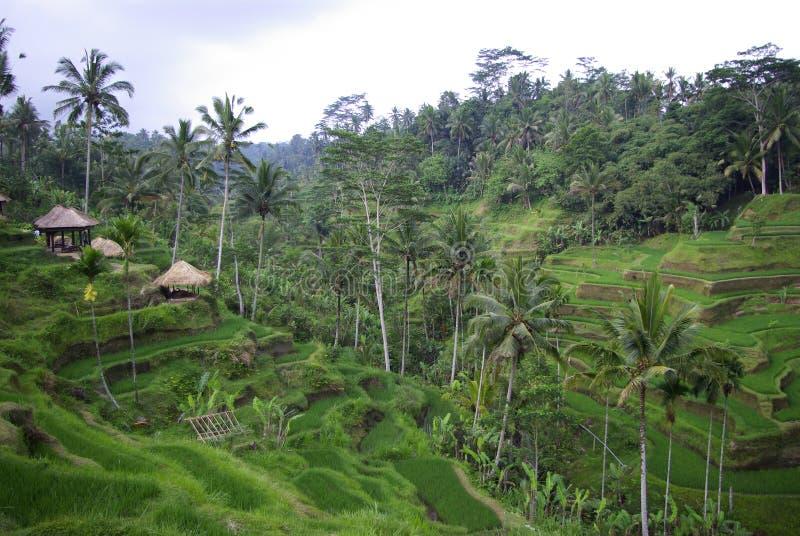 Ricefields y palmas en las montañas en Bali imagen de archivo libre de regalías