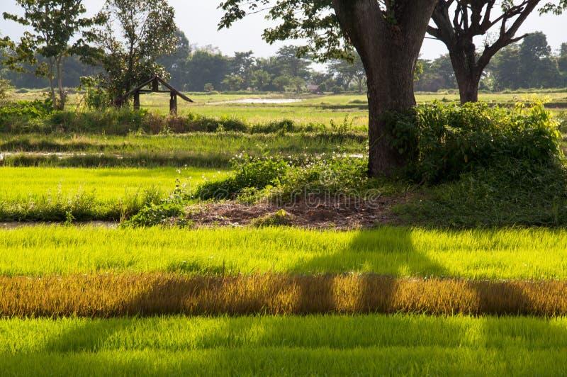 ricefieldskuggatree royaltyfri bild