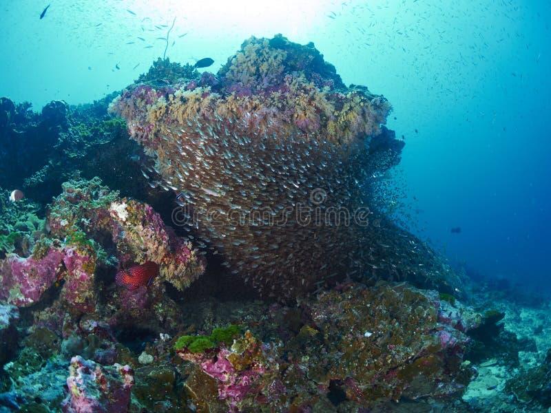 Ricefish/Glassfish στοκ φωτογραφίες