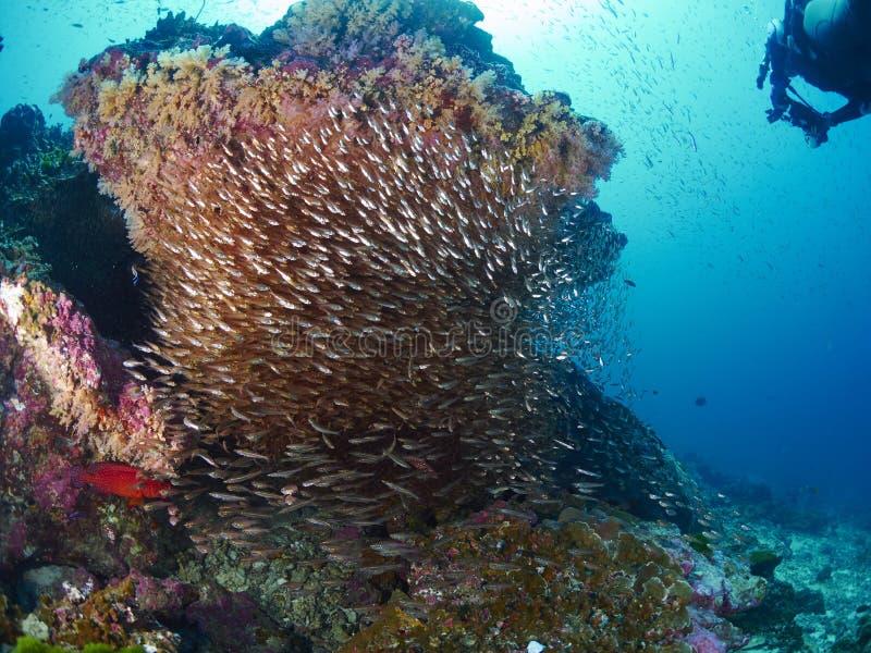 Ricefish/Glassfish στοκ φωτογραφίες με δικαίωμα ελεύθερης χρήσης