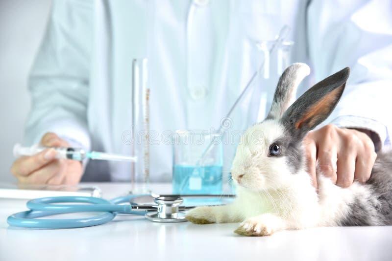 Ricerca del vaccino e della medicina, droga di prova dello scienziato nell'animale del coniglio fotografie stock libere da diritti
