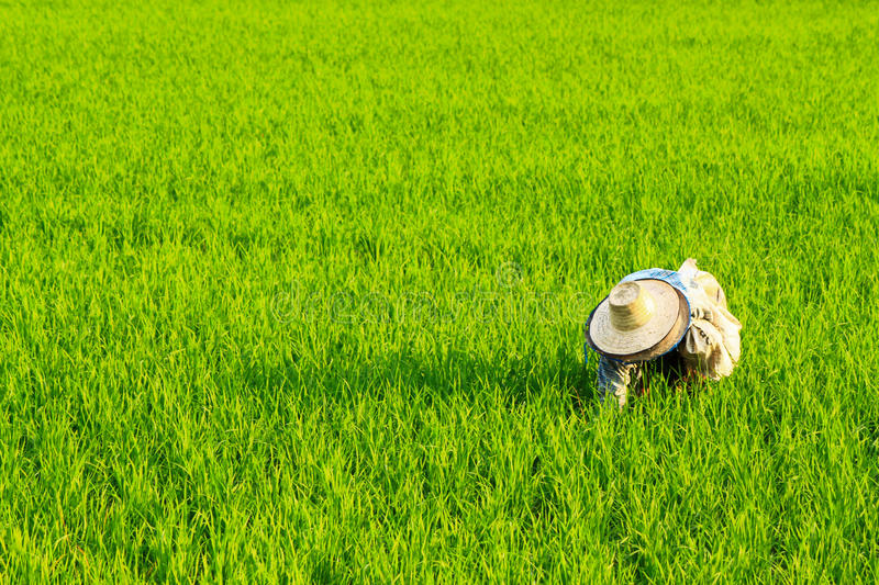 Rices farm view. Rice is the seed of the monocot plants Oryza sativa (Asian rice) or Oryza glaberrima (African rice). As a cereal grain, it is the most widely stock images
