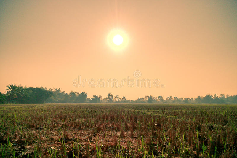 Rices växer upp royaltyfria foton