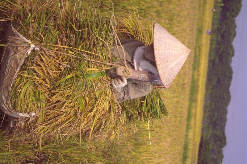 ricestockadekvinna arkivfoton