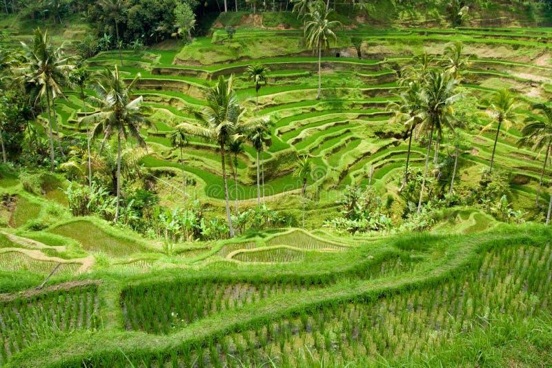 riceterrass arkivbild