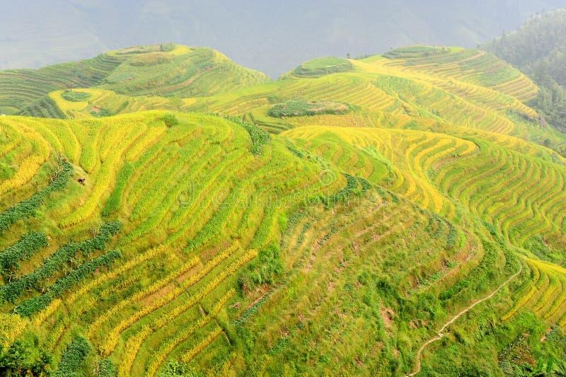 riceterrasser arkivfoto