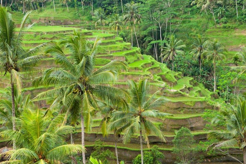 Riceterrasser av bali, indonesia arkivfoto