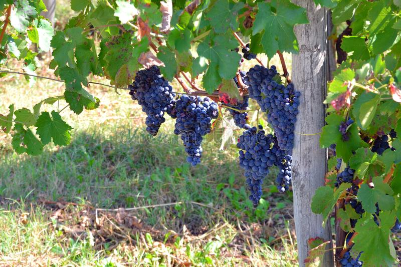 Blue/red/black grapes at a vinyard in Italy. Rich blue/red/black grapes hanging from the strands at a vinyard in Italy royalty free stock photography