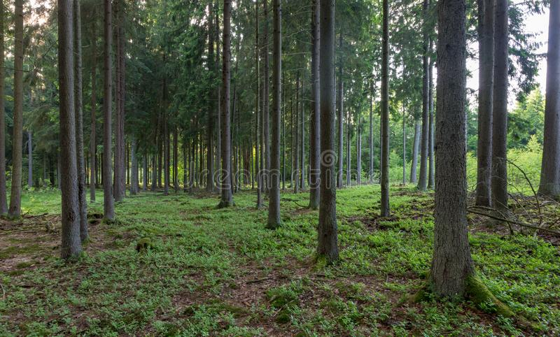 Rich coniferous forest in sunset royalty free stock photos