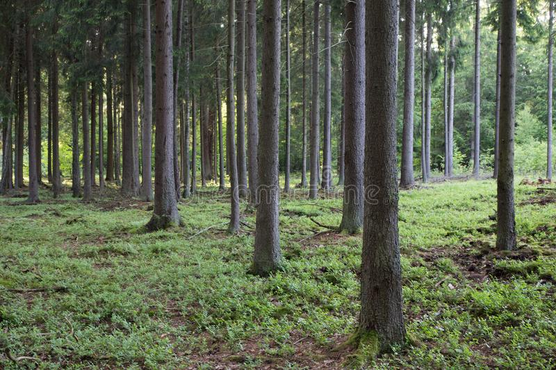 Rich coniferous forest in sunset royalty free stock photo