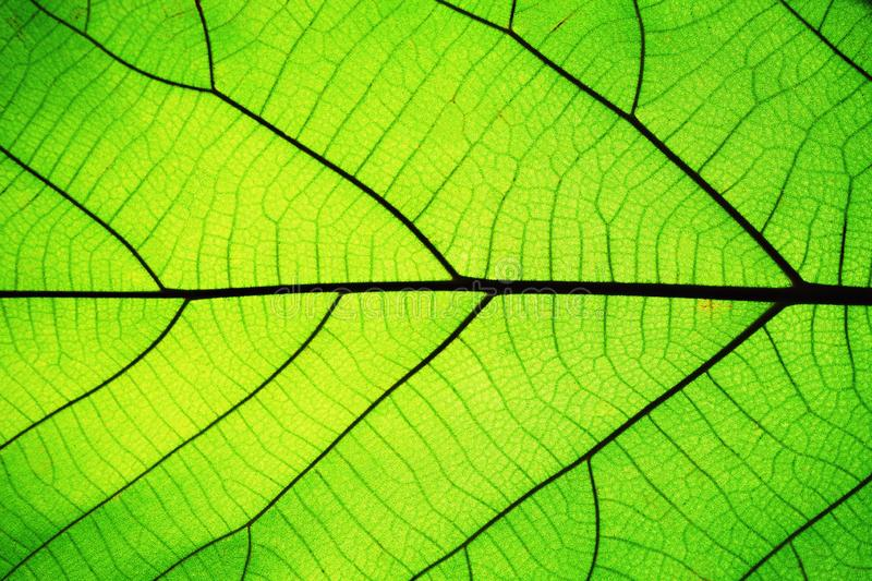 Rich green leaf texture see through symmetry vein structure, beautiful nature texture concept. Copy space royalty free stock image