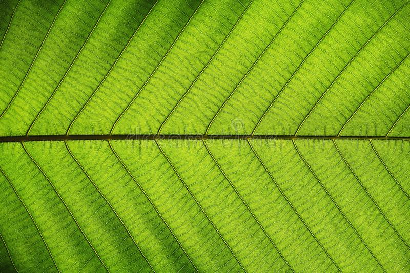 Rich green leaf texture see through symmetry vein structure, natural texture concept royalty free stock photos