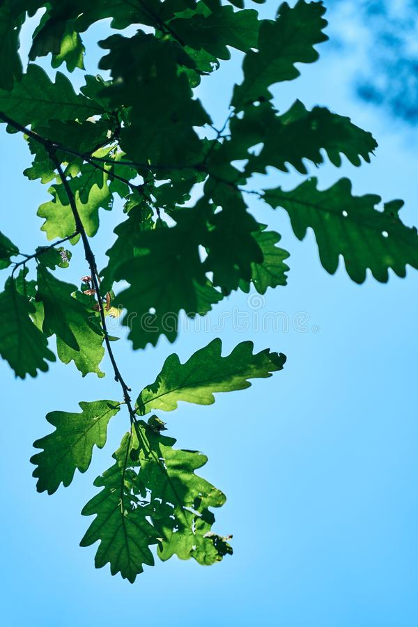 rich green oak leaves against a bright blue sky stock photos