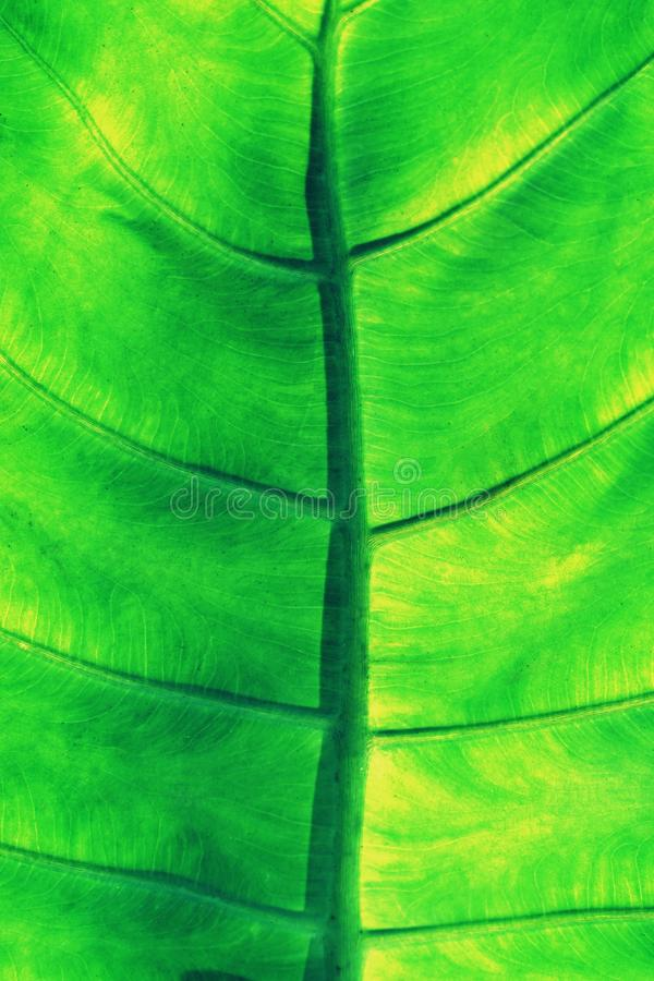 Rich green rim light, araceae, leaf texture, beautiful nature background concept. Copy space pattern healthy pleasant natural dramatic closeup plant symmetry royalty free stock photography