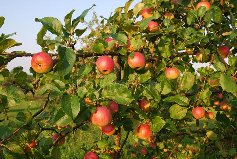 Download Rich harvest stock image. Image of leafs, apple, agriculture - 6238563