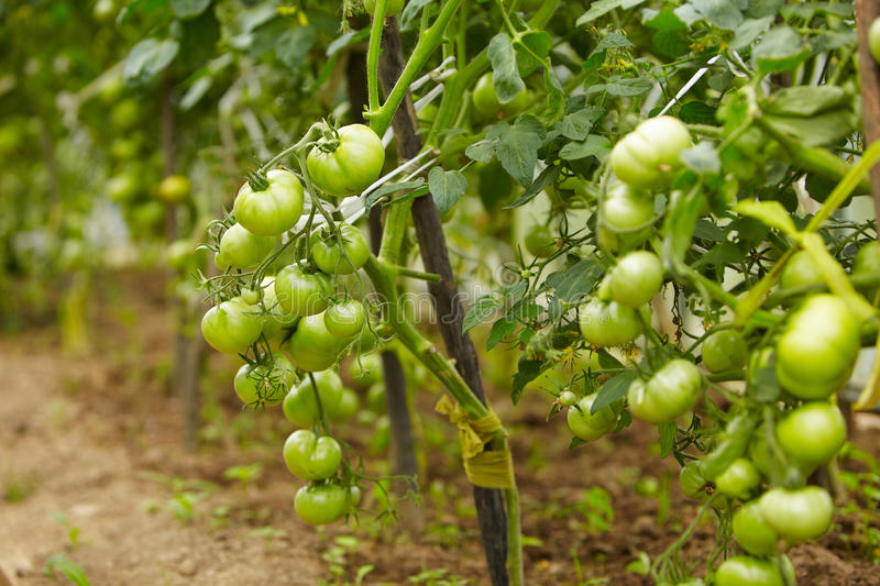 Download Rich harvest of tomato stock photo. Image of green, garden - 21517266