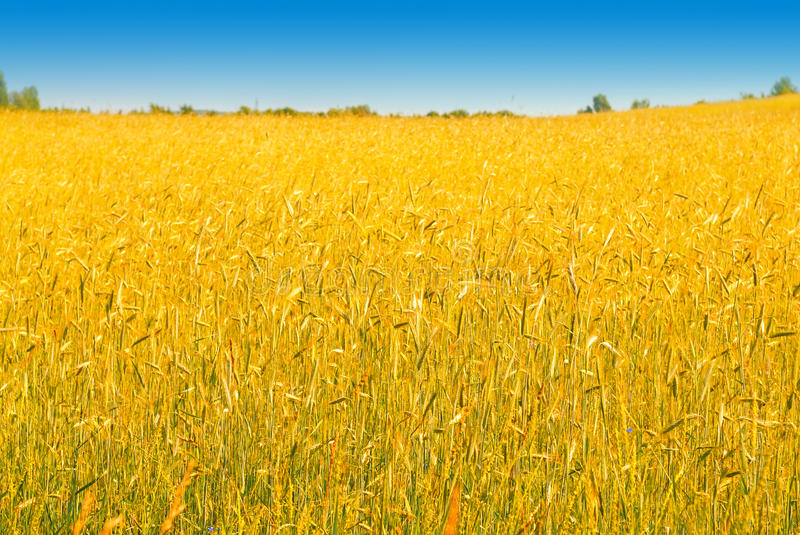 Rich harvest of wheat. Yellow wheat ready for harvest growing in a farm field in Ukraine stock photo