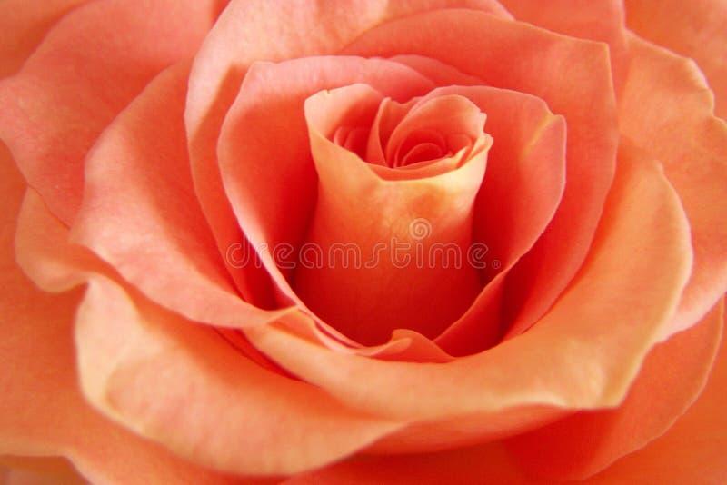Download Rich Peach Rose stock photo. Image of long, petal, close - 196214