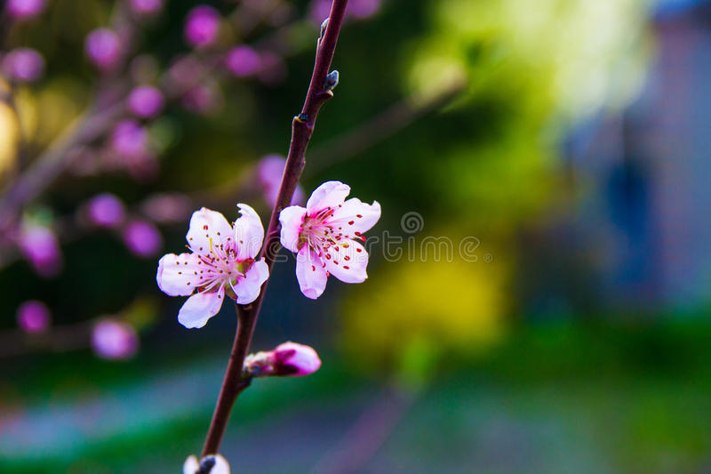 Rich pink peach flower royalty free stock images
