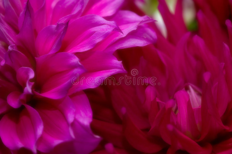 Rich Pink purple flowers royalty free stock photography