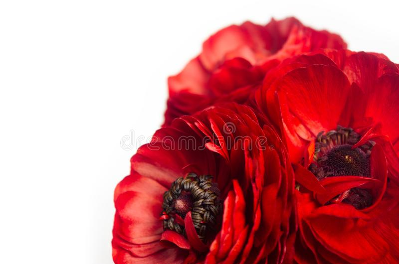 Rich red buttercup flowers closeup as decorative border isolated on white background. Elegance spring bouquet. stock image