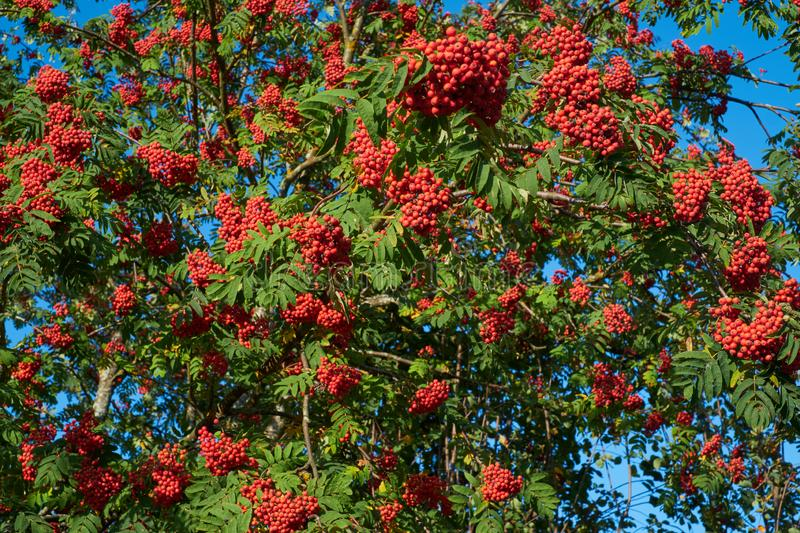 Rich Rowan tree with ripe berries on a branch royalty free stock images