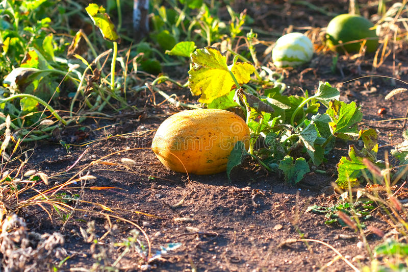 Rich yellow melon