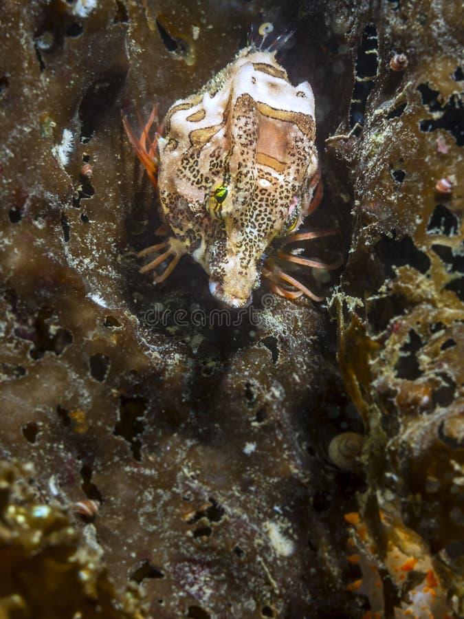 Richardsonii di Rhamphocottus dello scazzone marino di grugnito immagini stock
