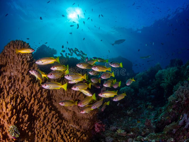 Richest reefs in the world. Misool, Raja Ampat, Indonesia. The reefs in the Misool Marine Protected Area within Raja Ampat, Indonesia, are the richest on earth royalty free stock photos