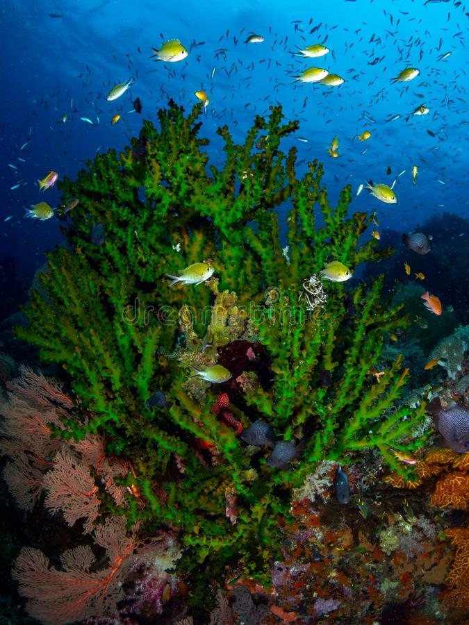 Richest reefs in the world. Misool, Raja Ampat, Indonesia. The reefs in the Misool Marine Protected Area within Raja Ampat, Indonesia, are the richest on earth stock photos