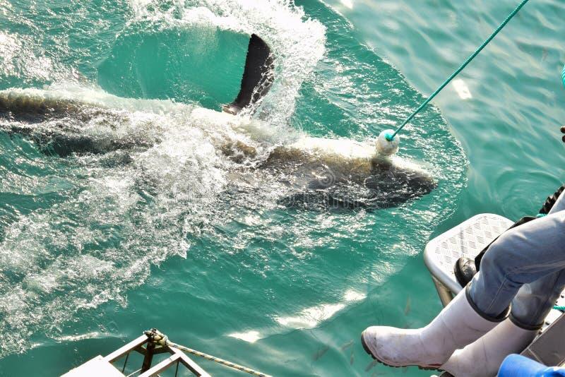 Richiamo di cattura della carne dello squalo di Great White vicino alla gabbia d'immersione fotografia stock