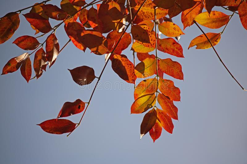 RICHLY COLOURED RED AUTUMN LEAVES IN A GARDEN royalty free stock images