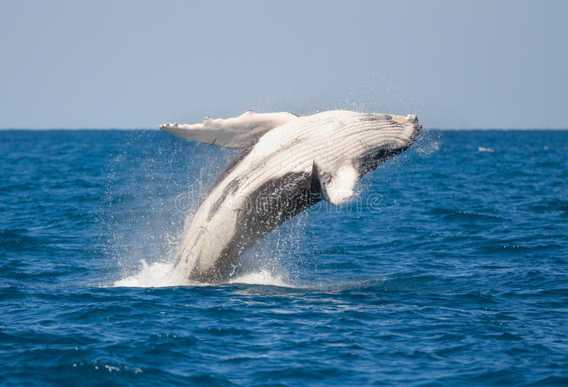 Humpback Whale jumping out of Water stock photography