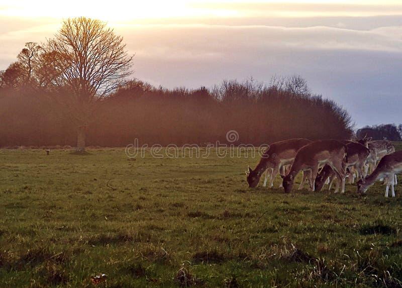 Richmond Park Deer-Anvisieren stockbilder