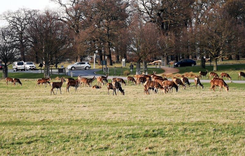 Richmond Park Deer-Anvisieren stockbild