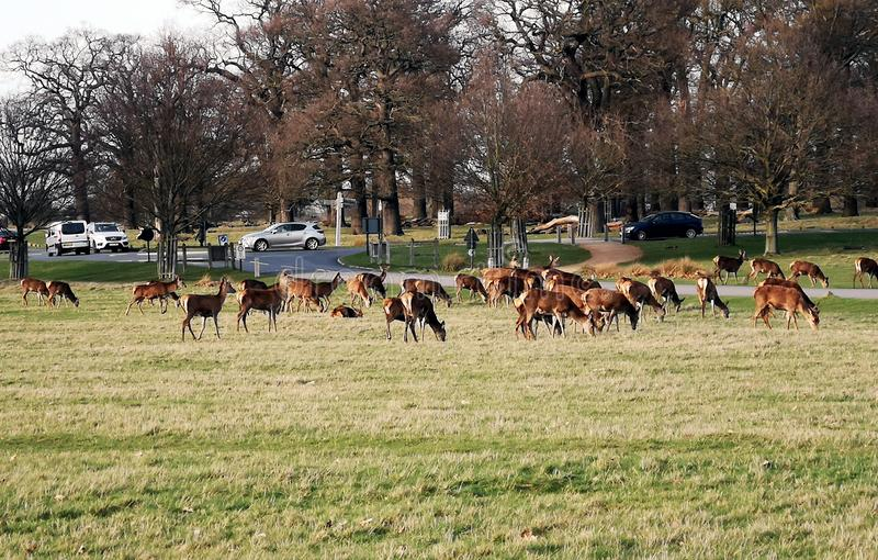 Richmond Park Deer-het waarnemen stock afbeelding