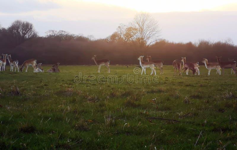 Richmond Park Deer-het waarnemen royalty-vrije stock fotografie