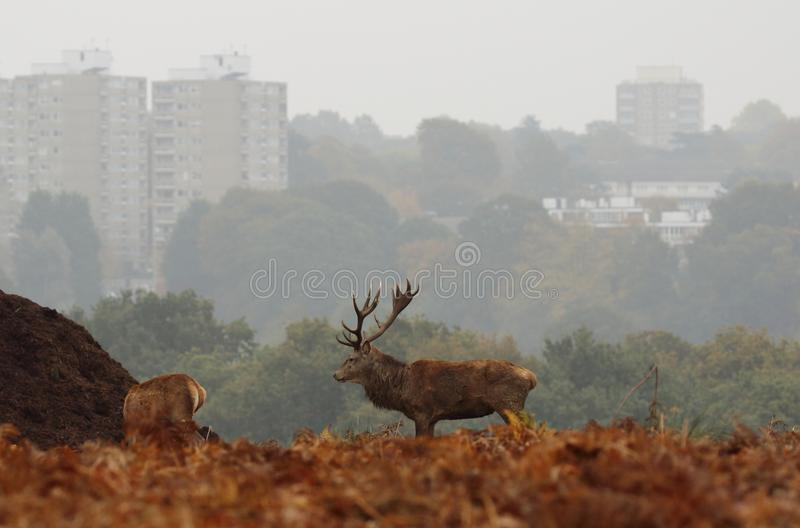 Richmond Park Stag com blocos de torre no fundo fotos de stock royalty free