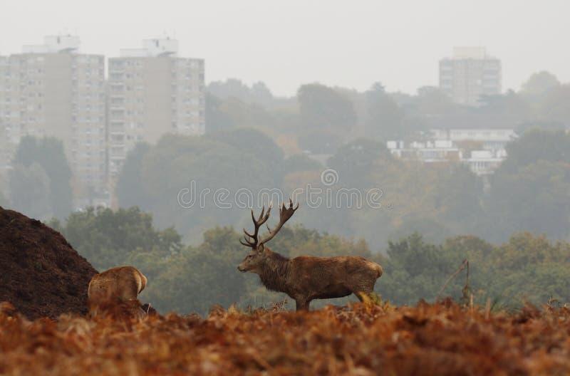 Richmond parka jeleń z wieżowami w tle zdjęcia royalty free