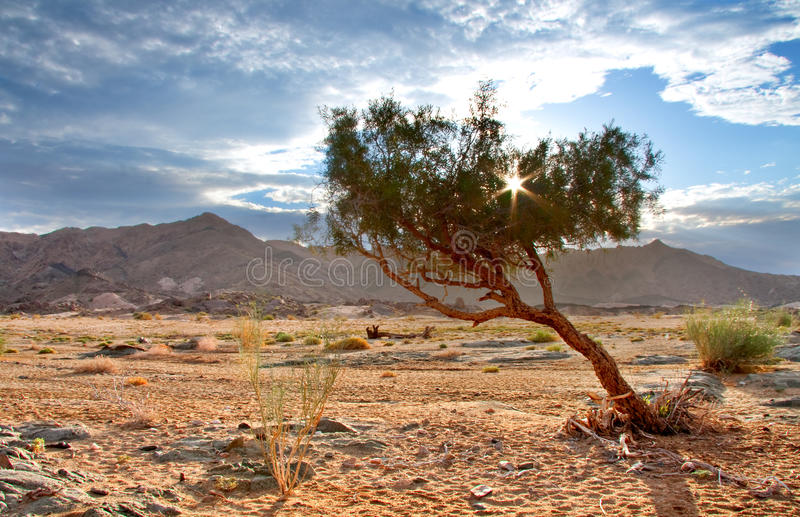 Richtersveld wilderness. Sunset behing a shepherd tree in Ai-Ais Richtersveld Transfrontier Park in South Africa royalty free stock images