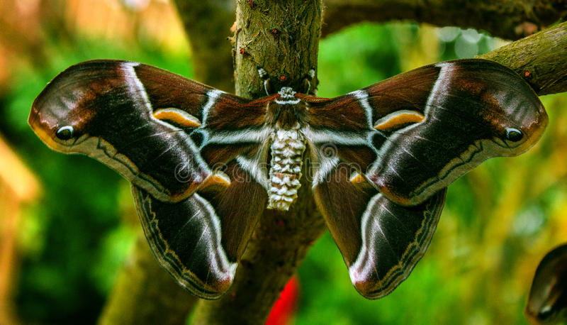 Ricini de seda del Samia de la mariposa imagen de archivo