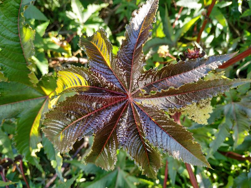 Ricinus communis poisonous plant purple leaf in Cartaya province of Huelva Spain. The seeds are very toxic, due to the presence of an albumin stock images