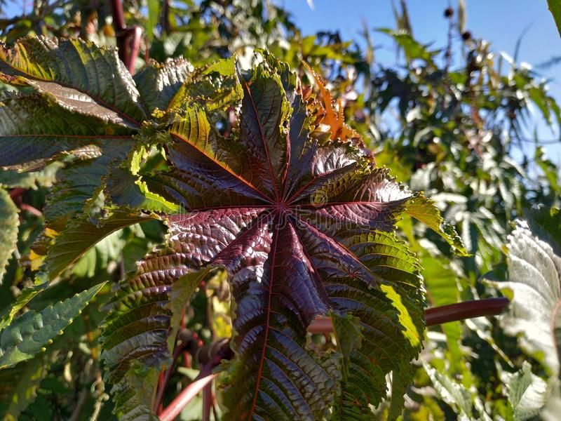 Ricinus communis poisonous plant purple leaf in Cartaya province of Huelva Spain. The seeds are very toxic, due to the presence of an albumin royalty free stock photos