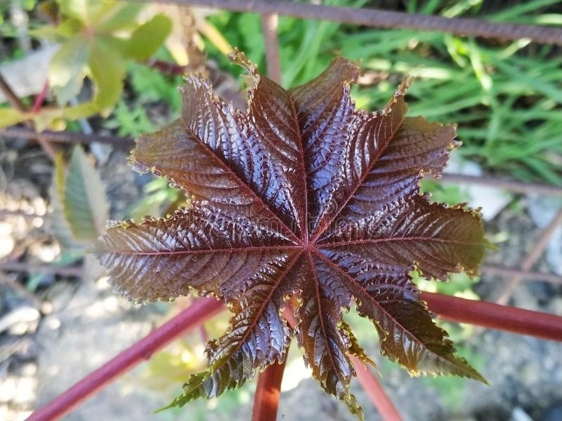 Ricinus communis poisonous plant purple leaf in Cartaya province of Huelva Spain. The seeds are very toxic, due to the presence of an albumin royalty free stock photography