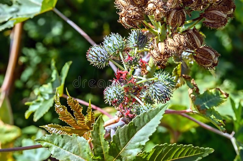 A Ricinus communis plant with green capsule, f royalty free stock photography